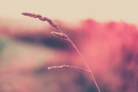 pink wildgrass