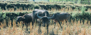 Buffaloes in the mountains