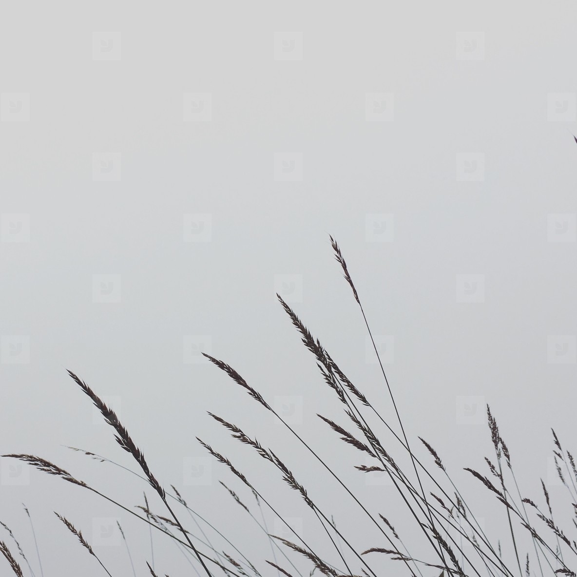 Reed grass on foggy morning