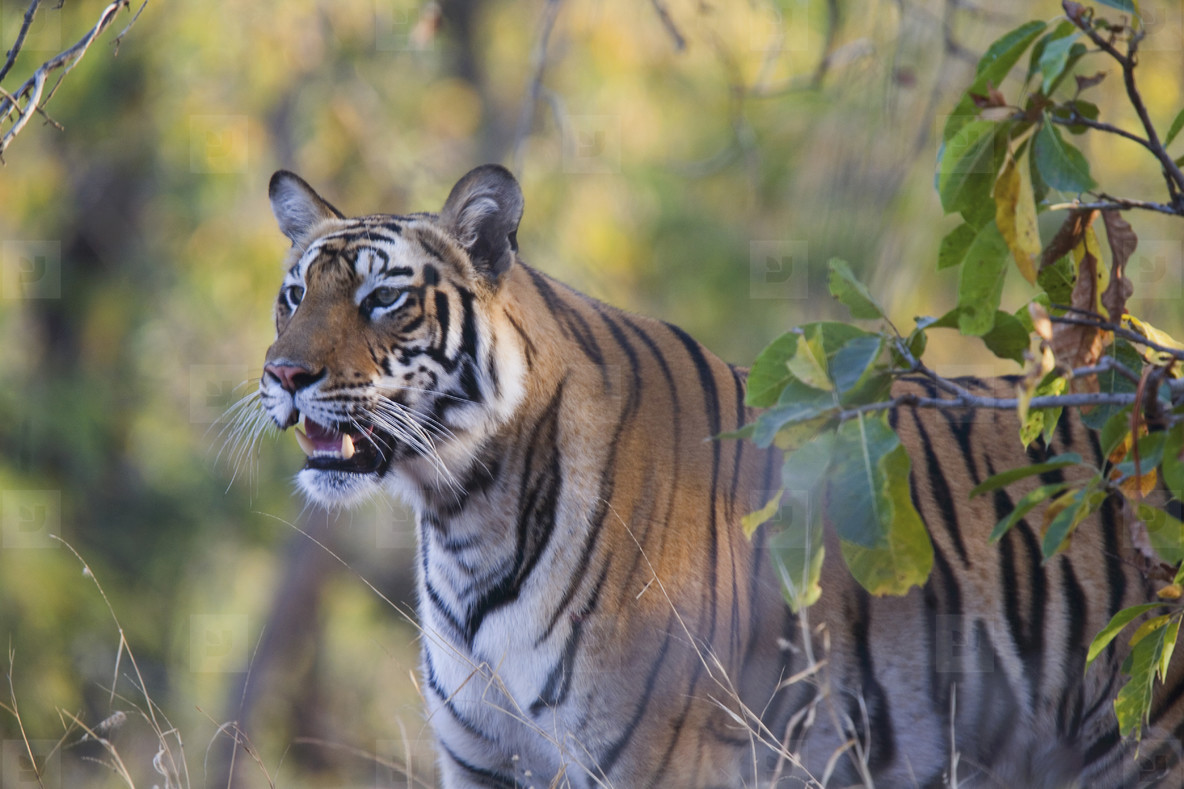 Tigers and Elephants  01