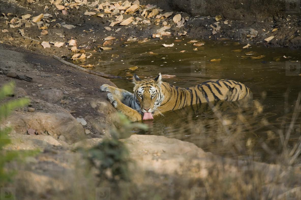 Tigers and Elephants  12
