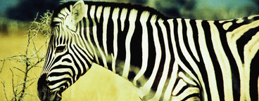 Safari Days  01