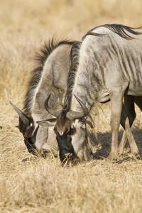 African Safari Scenes 102  09