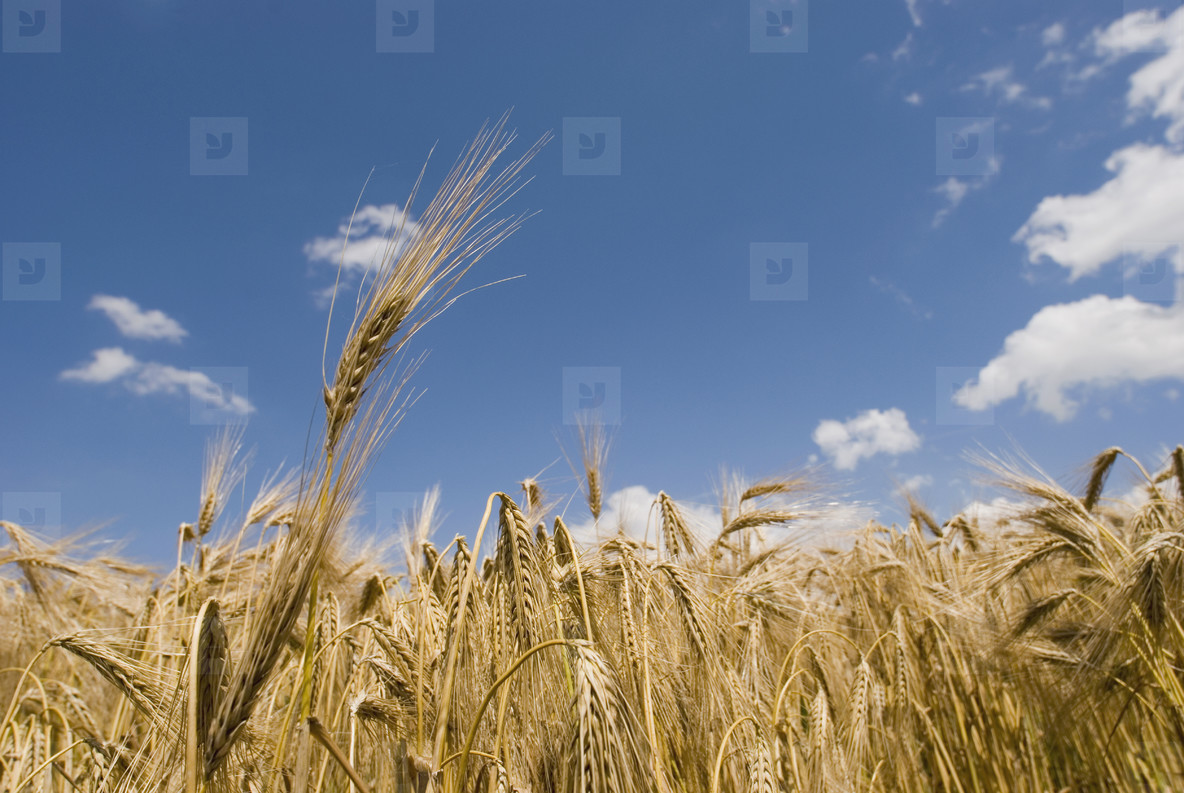 Wheat and Wildflowers  01