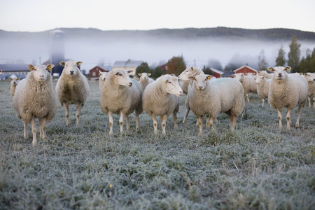Sheeps and Fire 01
