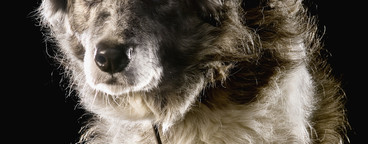 Pastoral Dogs  06
