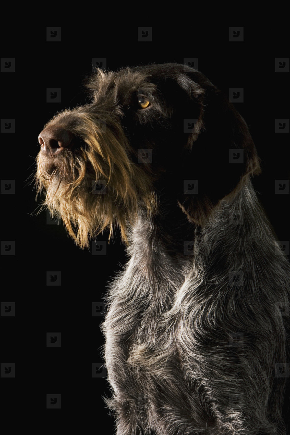 Pastoral Dogs  23