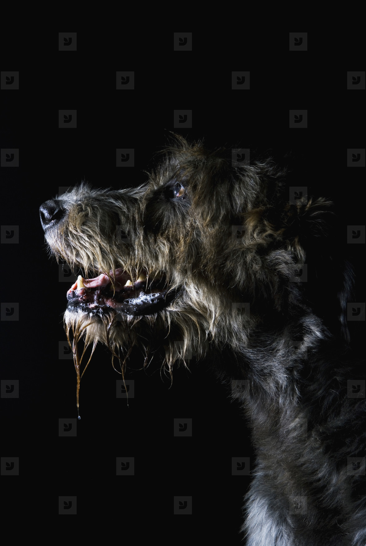 Pastoral Dogs  37