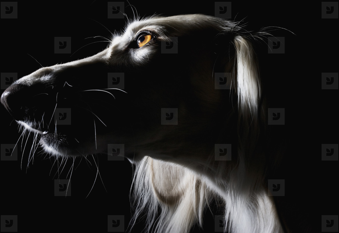 Pastoral Dogs  45