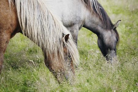 Iceland Wildlife 07