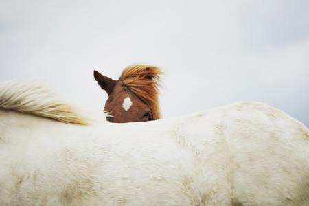 Iceland Wildlife  10