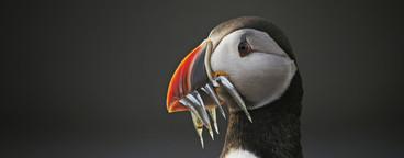 Iceland Wildlife  11