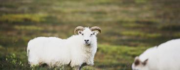 Iceland Wildlife  14