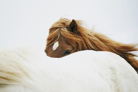Iceland Wildlife  15