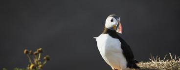 Iceland Wildlife  17