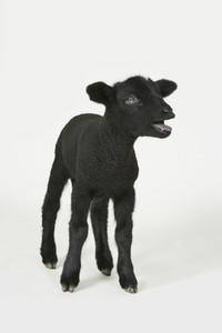 Livestock Lullaby 03