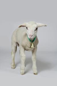 Livestock Lullaby 12