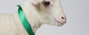 Livestock Lullaby  17