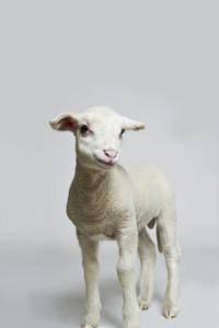Livestock Lullaby 19
