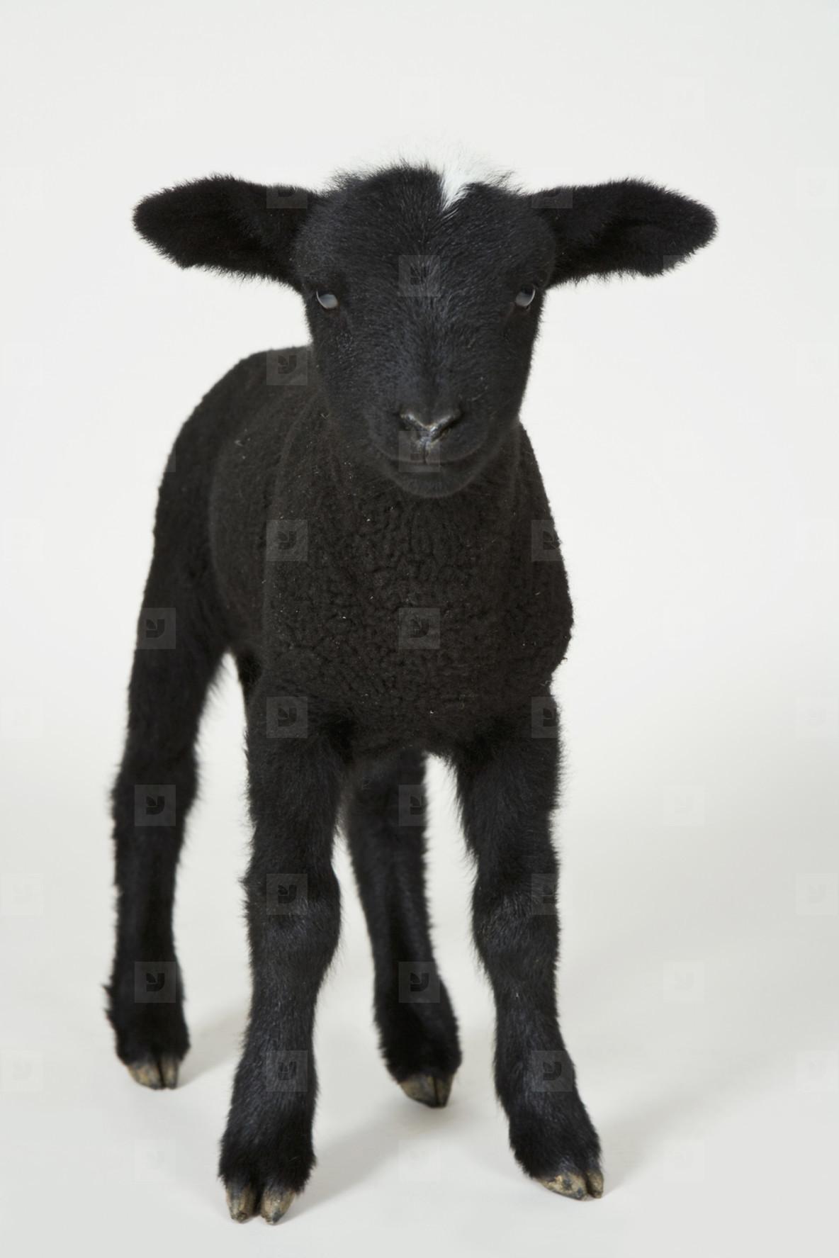 Livestock Lullaby  23