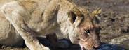 Safari Scenes  13