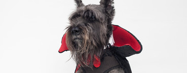 Costumed Dogs  03
