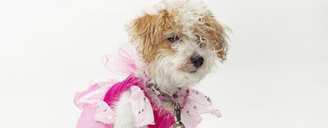 Costumed Dogs  07