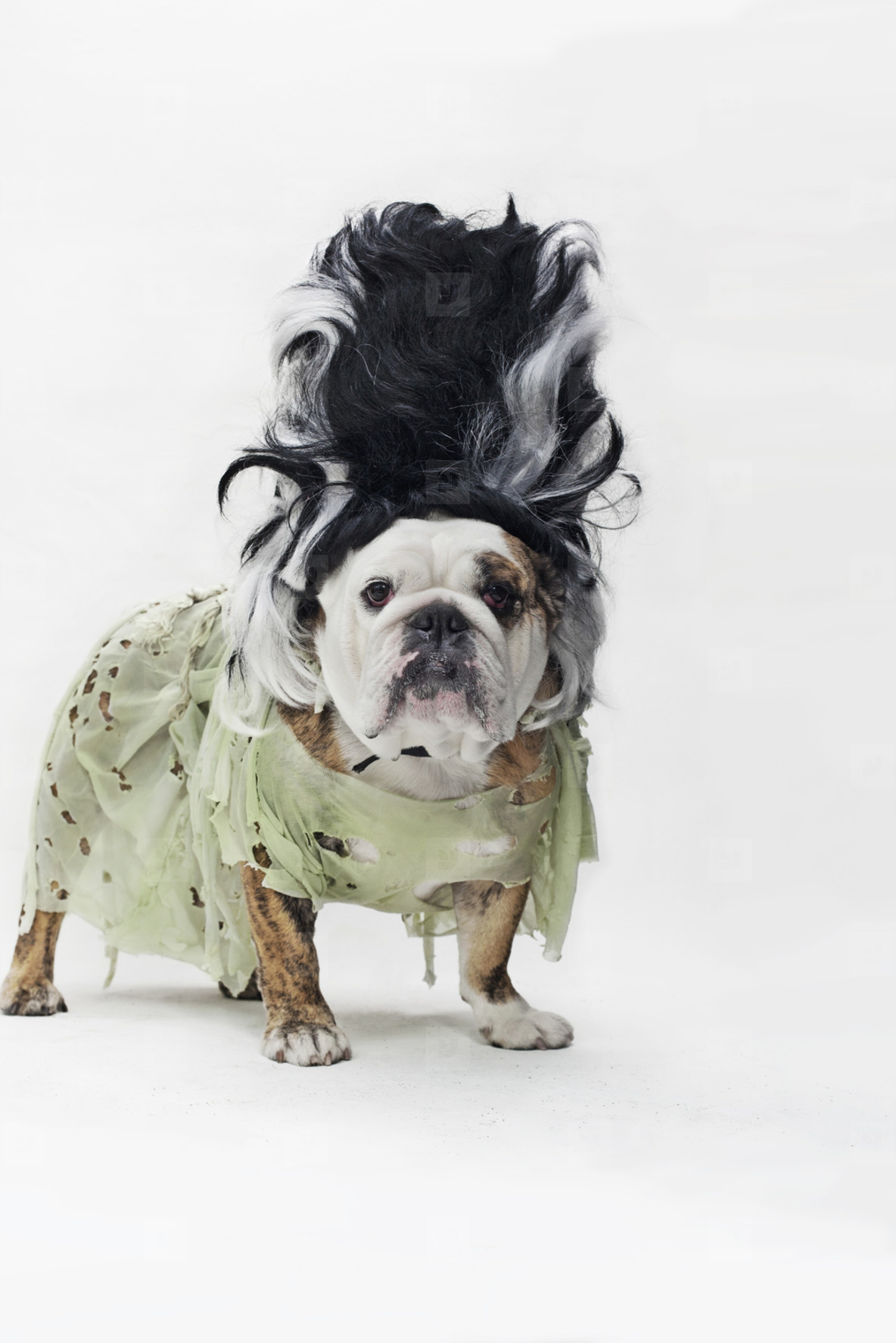 Costumed Dogs  08