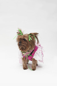 Costumed Dogs 11