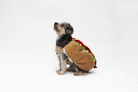 Costumed Dogs 12