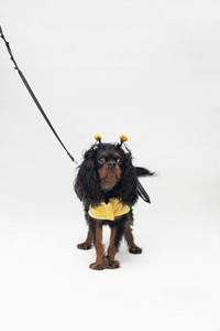 Costumed Dogs  13