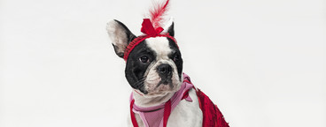 Costumed Dogs  15
