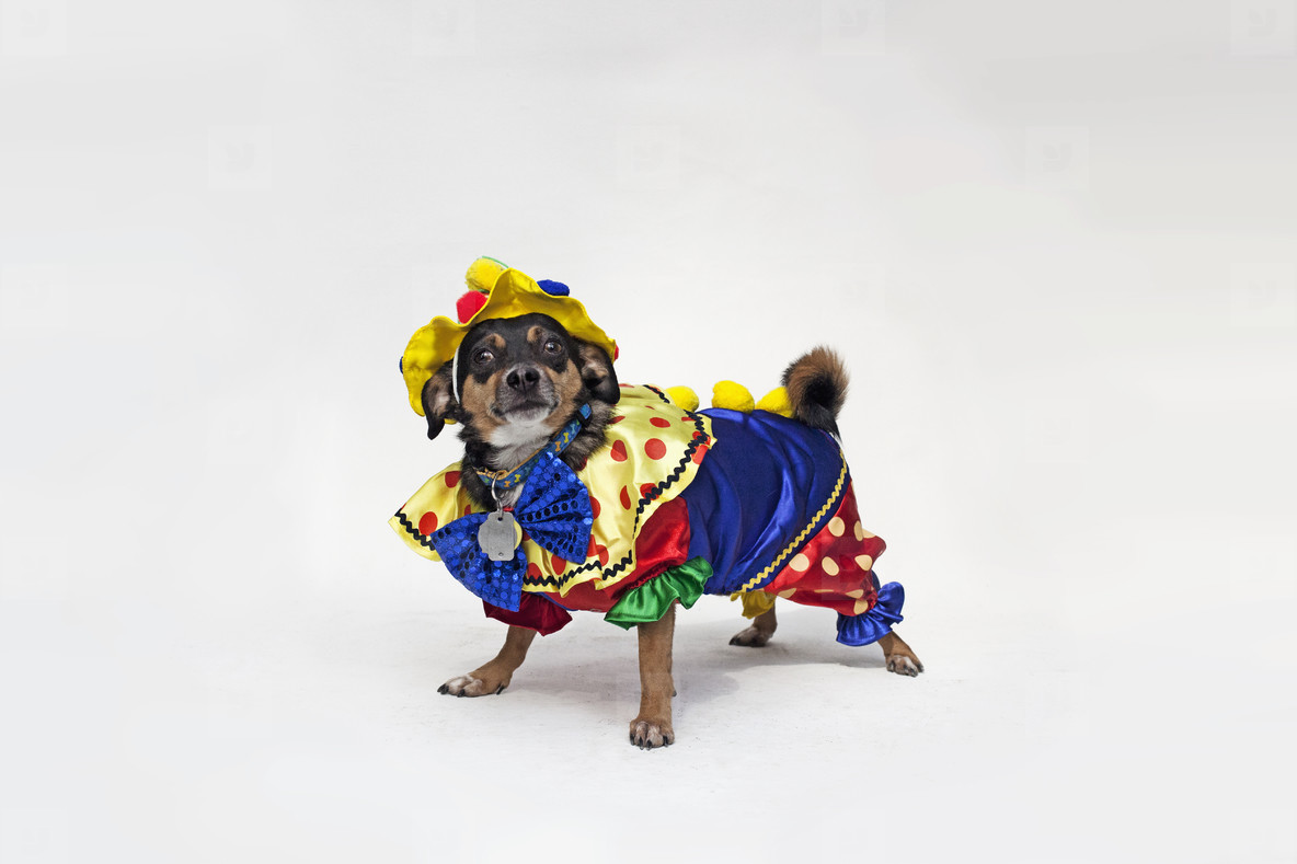 Costumed Dogs  18
