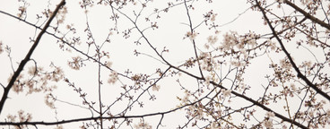 Under the Cherry Blossoms  02
