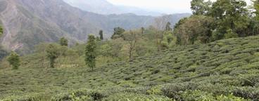 Tea Plantation Tour  04