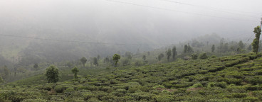 Tea Plantation Tour  06
