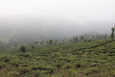 Tea Plantation Tour  06