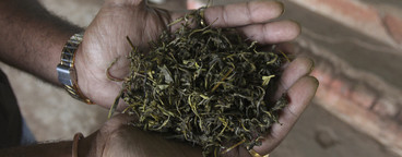 Tea Plantation Tour  09