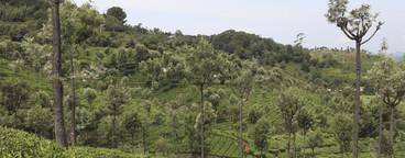 Tea Plantation Tour  10