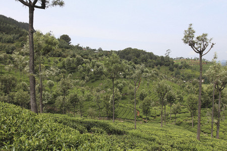 Tea Plantation Tour  10