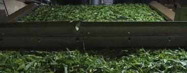 Tea Plantation Tour  13