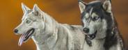 Dog Daze  70
