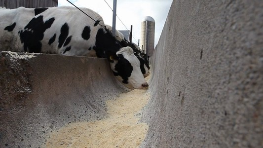 Cows Eating At A Trough