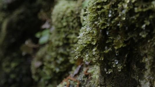 Moss drips