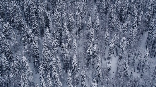 Dense Snowy Forest Natural