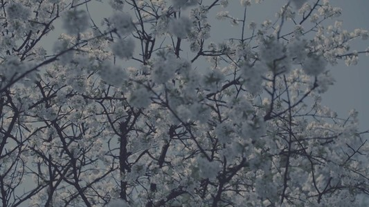 Muted Cherry Blossoms Detail