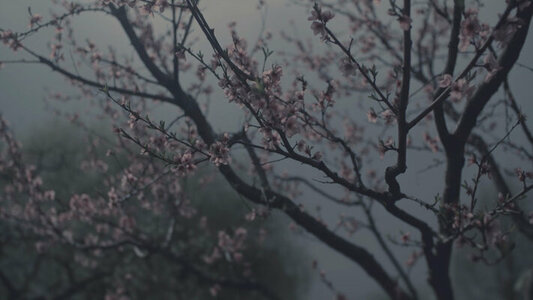 Muted Cherry Blossoms Simple