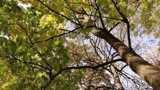 Trunk of Maple Tree