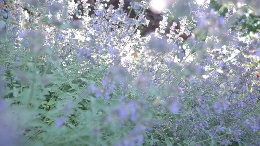Pan And Track Through Catmint In